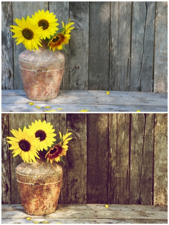 unprocessed: Interesting side by side comparison of an unprocessed RAW file and the same image after being processed to a vintage style richly colored image sunflowers in a rustic vase on a grunge wood backdrop   Stock Photo