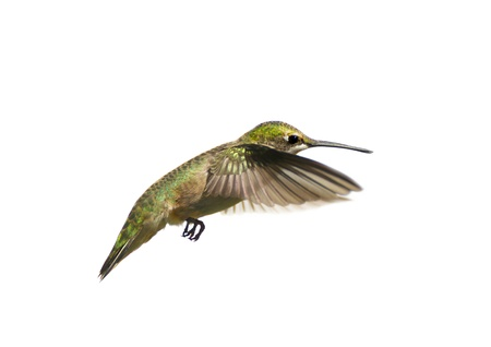 여성 루비의 흰색에 고립 된 모션 throated 벌새 archilochus의 콜루브리스를, 이미지를 닫습니다