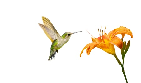 Close up image of a juvenile male ruby throated hummingbird  archilochus colubris  approaching a pretty orange day lily, isolated on white