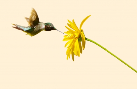 A beautiful male ruby throated hummingbird approaching a yellow flower on a neutral background with copy space