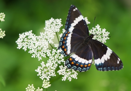 diurnal: Macro image of a beautiful white admiral butterfly on a flowering gout weed plant with copy space