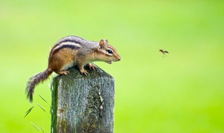 Close up image of an angry chipmunk being bothered by a wasp in the summer.