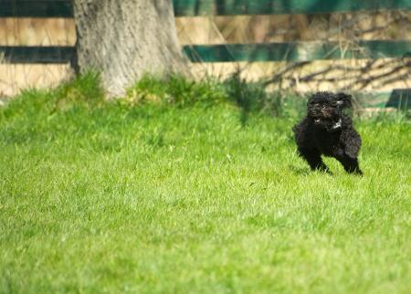 Imagen chistosa de un adorable cachorro de caniche toy zoom a trav�s de la hierba, disfrutando de su libertad en la primavera con copia espacio. Foto de archivo - 15273152