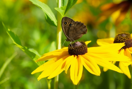 brown  eyed: Macro image of a beautiful Common Wood-Nymph on a brown eyed susan flower in the summer