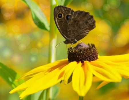 Dreamy image of a beautiful Common Wood-Nymph on a brown eyed susan flower in the summer with sparkling bokeh   photo