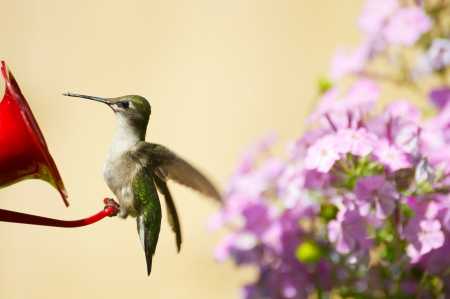 ruby throated: Colorful close up image of a juvenile female ruby throated hummingbird  archilochus colubris  perched on a feeder in the garden in summer   Stock Photo