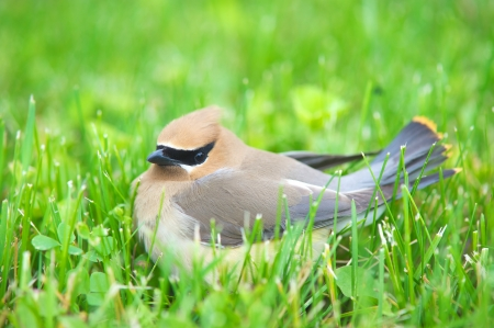 Close up image of a pretty Cedar Waxwing sitting in the grass in the summer with copy space   版權商用圖片