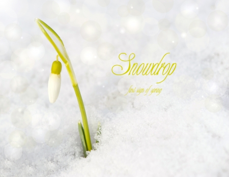 emerged: A single snow drop flower peeks out of the snow in the Spring with bokeh and text  Snowdrop first sign of Spring