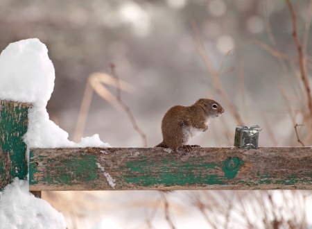 A little squirrel shivers in the wind on a fence on a cold snowy winter day but seems happy to find a shiny Christmas present left for him   Stock Photo - 15273148
