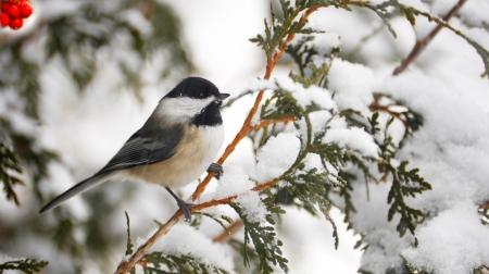 Closeup image d'une m�sange adorable perch� sur une branche de c�dre en hiver