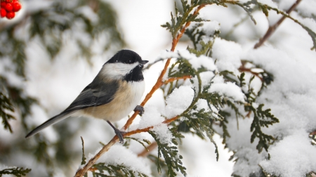 snow capped: Closeup image of an adorable chickadee perched on a cedar branch in winter