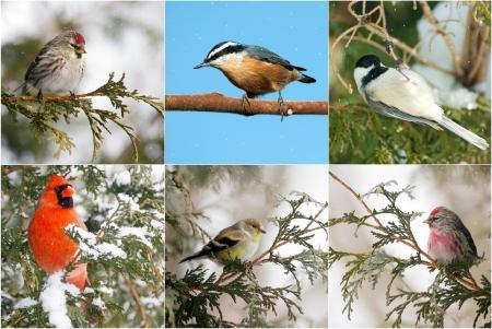 Collage de Nice avec plusieurs esp�ces d'oiseaux d'hiver du Canada s