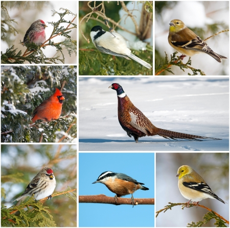 Nice collage featuring several species of Canada s winter birds   Stock Photo - 15273241