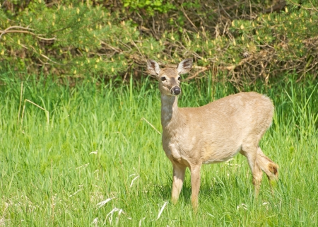 white tail deer: A beautiful doe in the late afternoon sun wanders through a meadow with copy space   Stock Photo