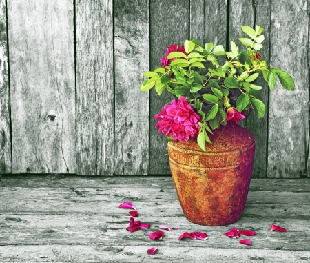 richly: Richly colored wild roses contrasted on a desaturated wood backdrop with copy space
