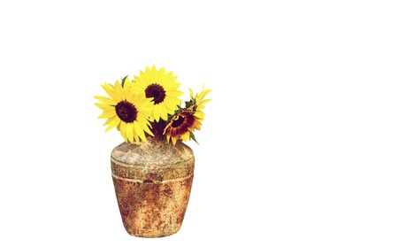 Sunflowers in a vase, isolated on white