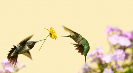 A male ruby throated hummingbird surprising a pretty female with a gift of a flower