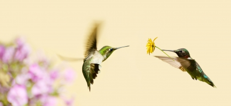 ruby throated: A male ruby throated hummingbird surprising a pretty female with a gift of a flower