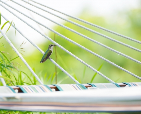 ruby throated: Ruby throated hummingbird taking a pause on a hammock rope in the shade on a hot summer day