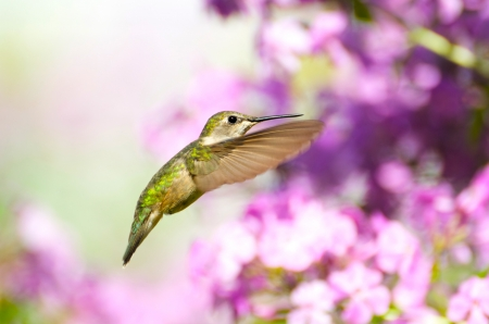 ruby throated: Ruby throated hummingbird, female, in motion in the garden   Stock Photo