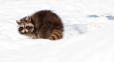 varmint: A young raccoon in the snow in winter