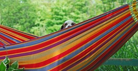 springer spaniel: Springer spaniel peeking out of a hammock in the summertime