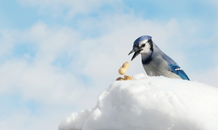 bluejay: A blue jay  Cyanocitta cristata  stealing a peanut he found in the snow with copy space   Stock Photo