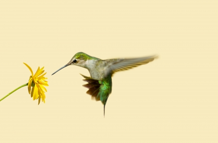 Ruby throated hummingbird in motion approaching a yellow flower with copy space