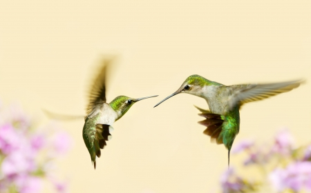 ruby throated: Ruby throated hummingbirds in conflict in the garden in summer