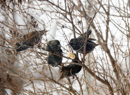 invasive species: Bird  European Starlings devouring some frozen peanut butter suet placed in the crook of a tree on a severely cold winter day   Stock Photo