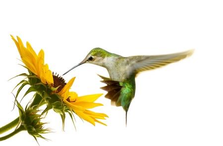 sunflower isolated: Rubino throated, maschio giovanile, in bilico a un girasole, isolato su bianco. Archivio Fotografico