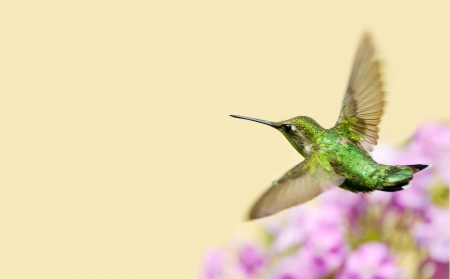 A ruby throated hummingbird  archilochus colubris  flying through a sprinkle of water in the garden on a hot summer day with copy space   Stock Photo