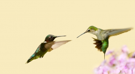 ruby throated: Ruby throated hummingbird juvenile male and an adult male in motion, fighting over territory
