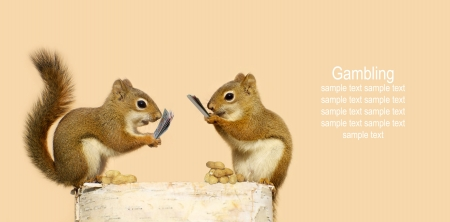 Squirrels playing cards for peanuts. Part of a fun series.  Stock Photo