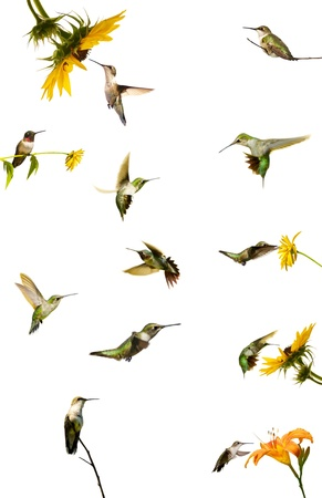 Collection of hummingbirds in motion, and at rest, isolated on white.