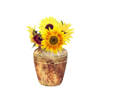 Beautiful sunflowers in a rustic vase, isolated on white. photo