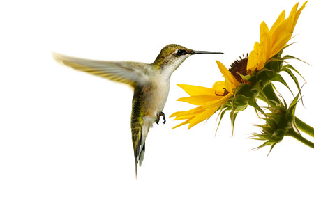 Ruby throated hummingbird, female, hovering at a sunflower, isolated on white