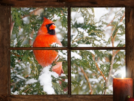 A male Northern Cardinal in the snow peeks happily into a tiny farmhouse window with a festive candle burning on the windowsill on Christmas morning