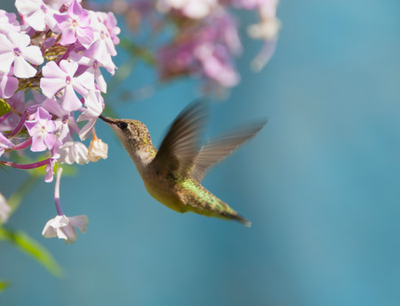 ルビーのどの動き、庭にハチドリ アルキロコス colubris 写真素材