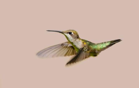 ruby throated: Hummingbird  Beautiful female ruby throated hummingbird in motion, isolated on a neutral colored background