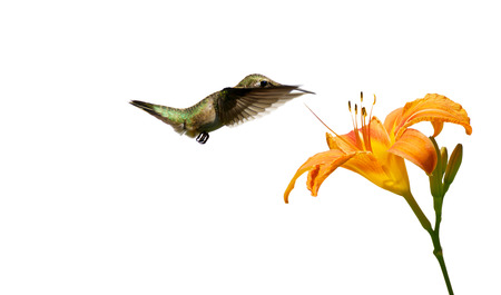ruby throated: A ruby throated hummingbird  archilochus colubris  approaching a pretty orange day lily, isolated on white