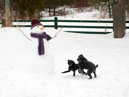 running nose: Black poodles having a great time, playing in the snow.