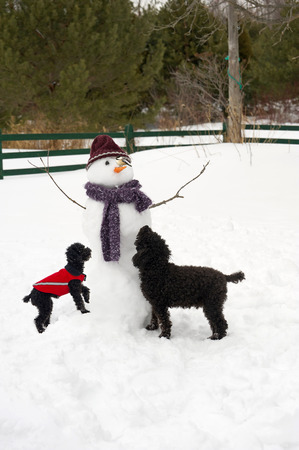 miniature poodle: Humorous image of a toy poodle, and miniature poodle examining a chickadee perched on their snowmans carrot nose.