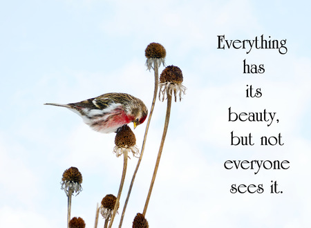 Inspirational quote about beauty in nature, with a pretty male common redpoll bird perched on a dead daisy stalk, eating seeds in the winter. photo
