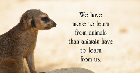 Inspirational quote about animals, with a lone Meerkat keeping watch, looking out over the desert. photo