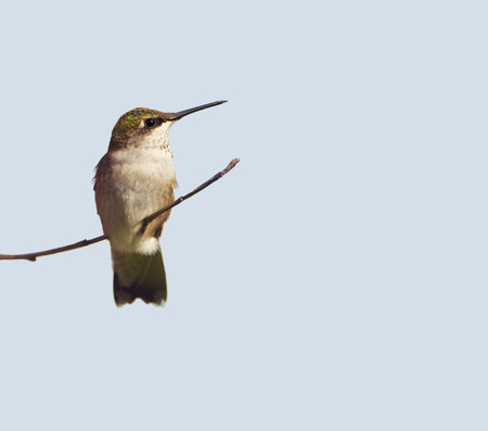ruby throated: Ruby throated hummingbird, juvenile male, perched on a branch, isolated on a light colored background.
