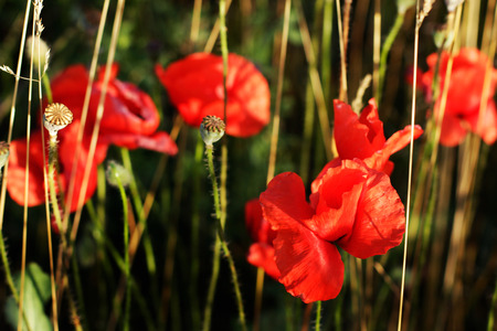 day flowering: red poppies