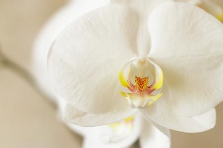 tender: Orchid - tender flower