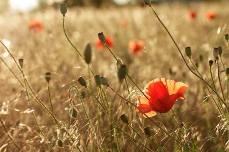 rural development: Red poppies in field in backlight