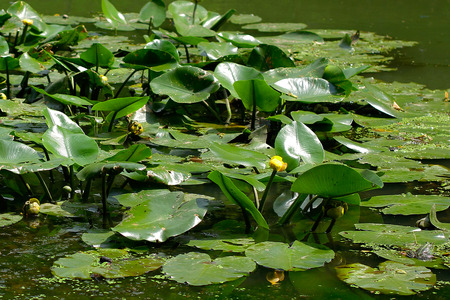 esoterics: Water Lily - clean ecology